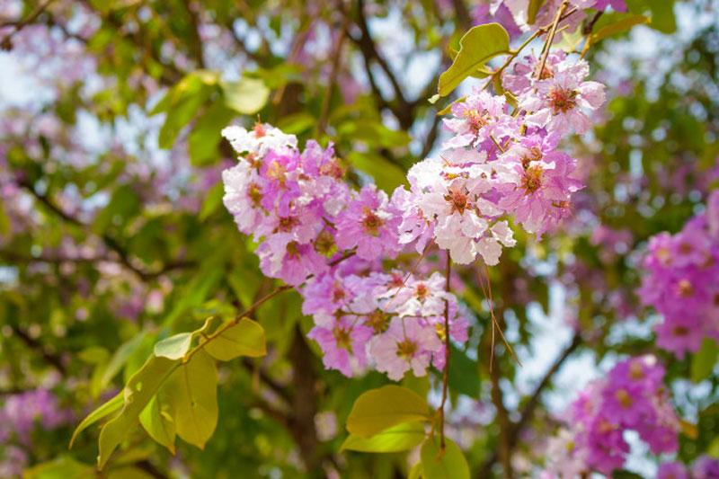 Bunga Myrtle