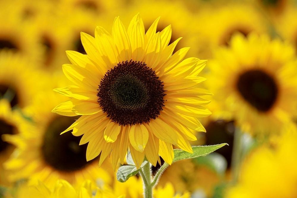 Mengenal 10 Jenis Bunga Untuk Pasangan Dan Maknanya