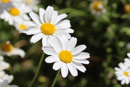 6 Jenis Bunga Yang Melambangkan Rasa Cinta