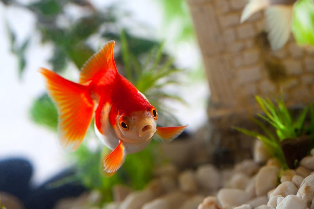 Hotel Ini Menyewakan Ikan Mas untuk Tamu Kesepian