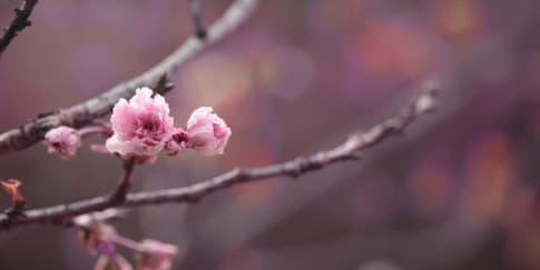 Sambut Musim Semi di Alila Anji