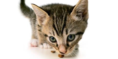Alternatif Makanan Sehat untuk Kucing