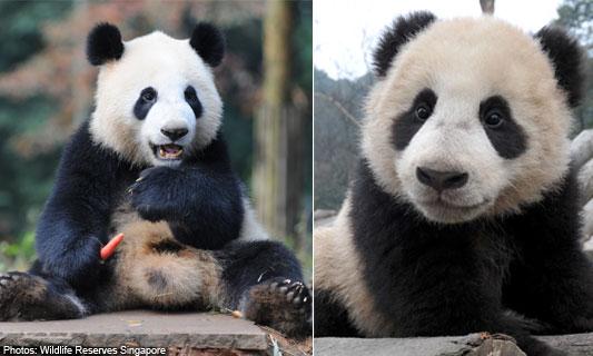 Alasan Mengapa Panda Berwarna Hitam Putih