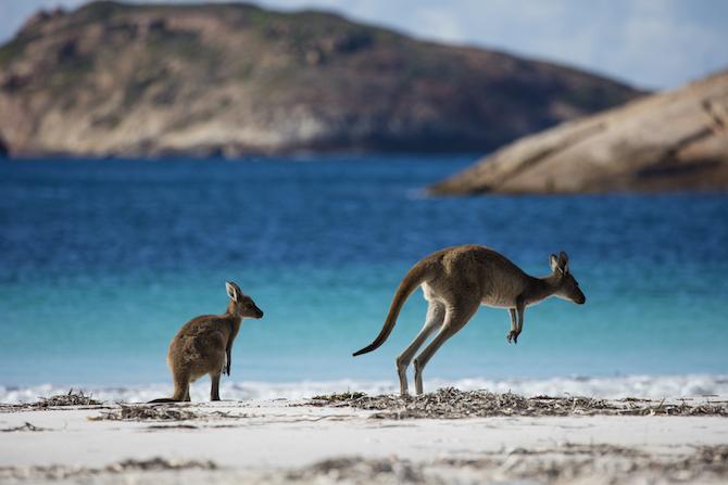 Kangaroo di Lucky Bay